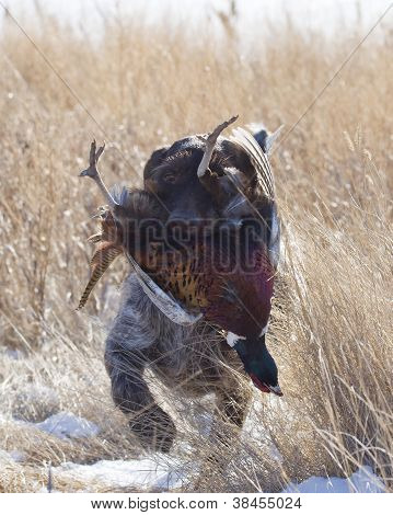 Hunting Dog with a Pheasant