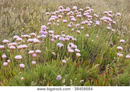 Spiny Thrift