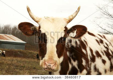 Bull with horns