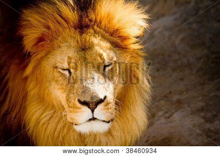Close up of a lion portrait