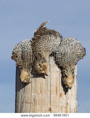 Sharptailed Grouse