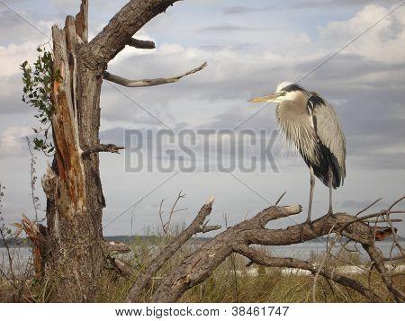Herring in a tree