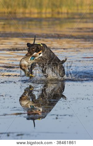 Hunting dog Retrieving a duck