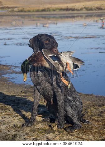 Hunting Dog holding a duck