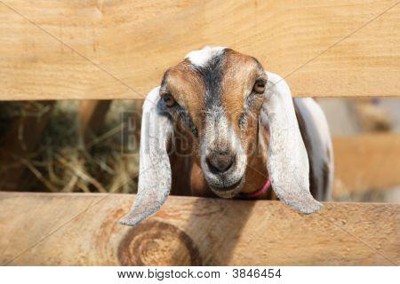 Young Goat Peeking Through The Fence