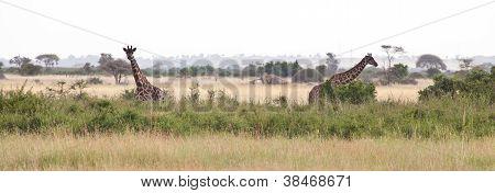 Giraffes On The Savanna