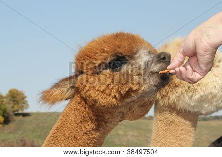 Baby alpaca eating a carrot