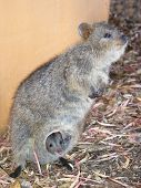 stock photo of quokka  - closeup of quokka with baby - JPG