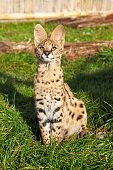 Serval Kitten Sitting Looking Upwards