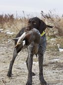 picture of gadwall  - German Wirehair with a drake Gadwall in North Dakota - JPG