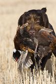 picture of ringneck  - Hunting dog with a rooster pheasant in North Dakota - JPG