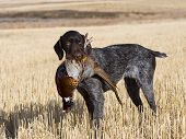 foto of ringneck  - Hunting dog with a rooster pheasant in North Dakota - JPG