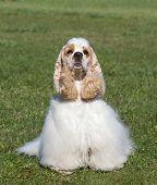 Beautiful Purebred Dog On Green Grass Looking At Camera poster
