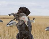 stock photo of pintail  - Hunting Dog with a Mature Drake Pintail - JPG