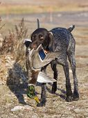 Hunting Dog and a Mallard
