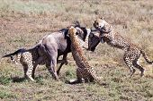 picture of wildebeest  - An adult Wildebeest is attacked and killed by three male cheetahs. Serengeti National Park Tanzania