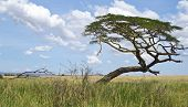 Tree On The Savanna