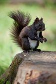 stock photo of seed bearing  - Gray fur squirrel with fluffy tail close - JPG