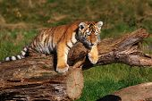 stock photo of tiger cub  - Siberian tiger cub laying at a tree - JPG