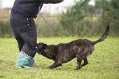 stock photo of shepherd  - training of an holland shepherd who biting a man - JPG