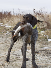 stock photo of gadwall  - German Wirehair with a drake Gadwall in North Dakota - JPG