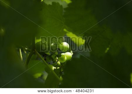 Green Grapes on Vines in Wine Vineyard