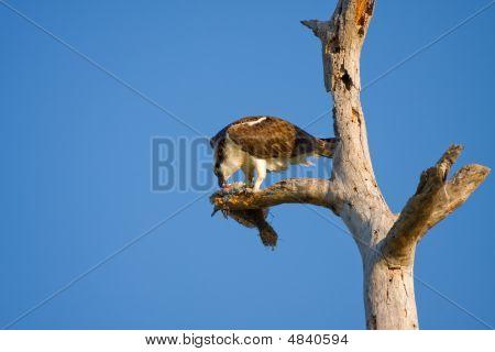 An Osprey Dining On A Flounder