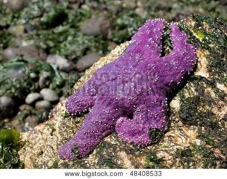 Purple Sea Star Relaxing
