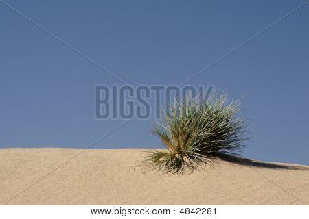 Grass In The Desert