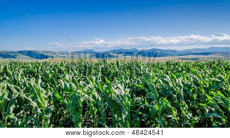 Corn Field And Mountains