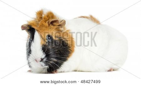Guinea Pig, isolated on white