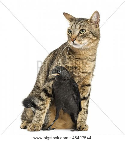 Western Jackdaw in the legs of a cat, isolated on white