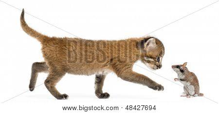 Vista lateral de un gato dorado asiático caminando hacia un lirón, aislado en blanco