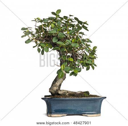 Panda bonsai árvore do ficus, ficus retusa, isolado no branco