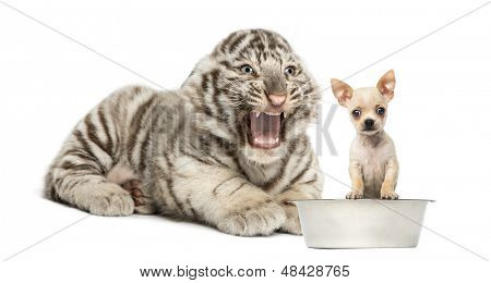 White tiger cub screaming at a Chihuahua puppy, isolated on white