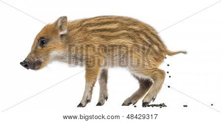 Wild boar, Sus scrofa, also known as wild pig, 2 months old, defecating, isolated on white