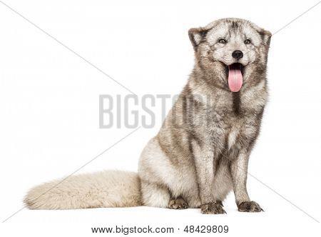 Raposa do Ártico, Vulpes lagopus, também conhecida como raposa branca, Raposa polar ou neve raposa, sentando-se, ofegante, é