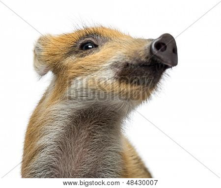 Wild boar, Sus scrofa, also known as wild pig, 2 months old, looking away, isolated on white
