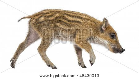 Wild boar, Sus scrofa, also known as wild pig, 2 months old, walking and sniffing, isolated on white