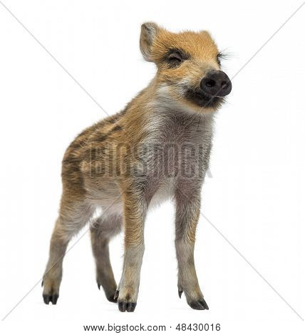 Wild boar, Sus scrofa, also known as wild pig, 2 months old, standing and closing its eyes, isolated on white