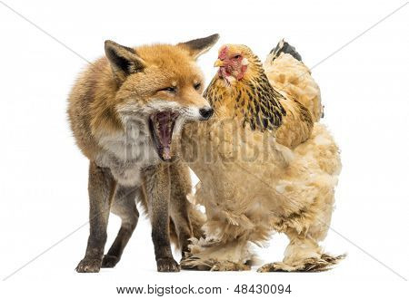 Red fox, Vulpes vulpes, sitting and yawning next to a Hen, isolated on white