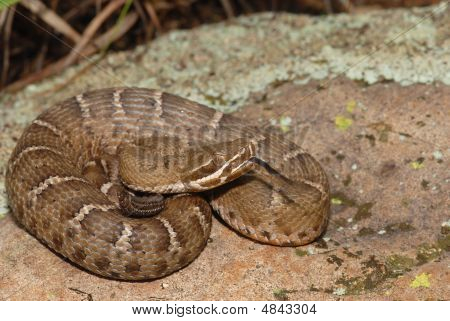 Juvenile Ridge-nosed Rattlesnake