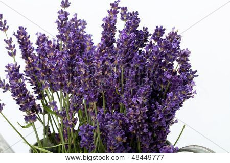 Lavender isolated on white background. Close up