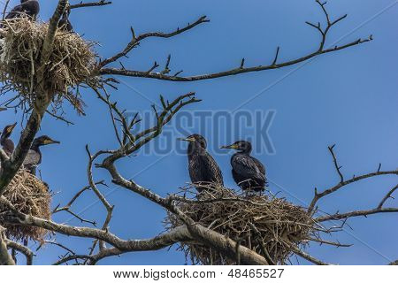 Cormorants Sitting On A Nest