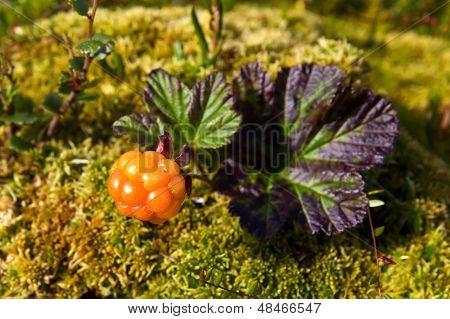 Ripe cloudberry in nature (Rubus chamaemorus)