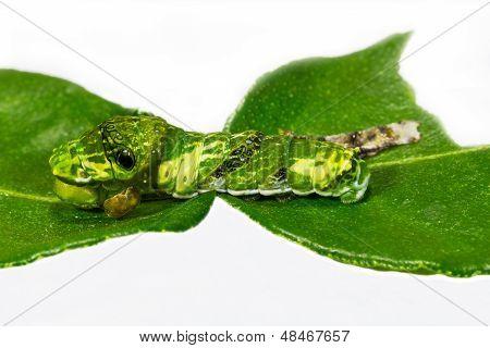 Caterpillar Of Great Mormon Butterfly