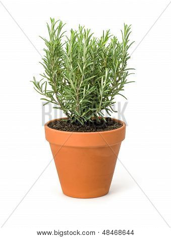 Rosemary in a clay pot on a white background