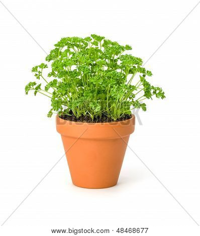 Parsley in a clay pot on a white background