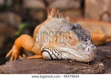 Bright Orange Green Iguana