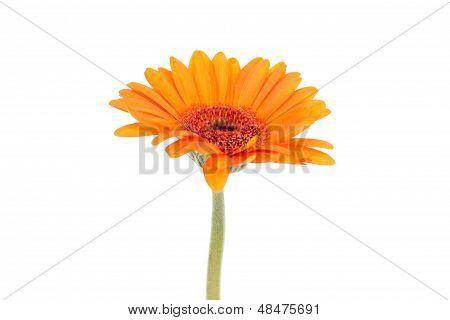 Single Orange Gerbera Isolated On White Background